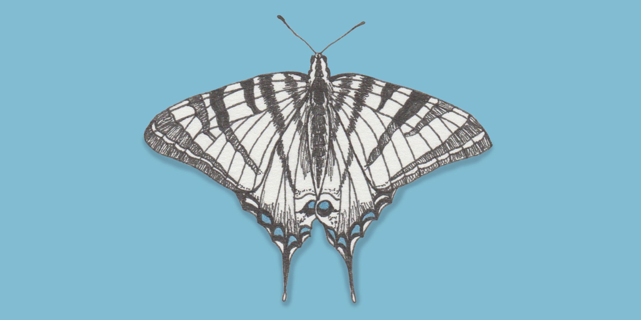 johannakerschensteiner_butterfly_iphiclides-podalirius