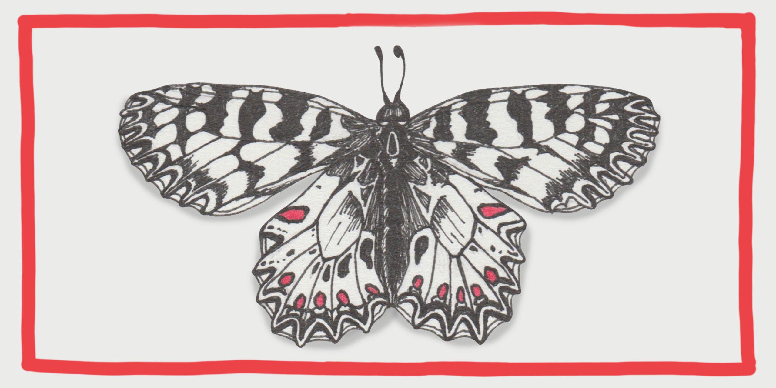 johannakerschensteiner_butterfly_zerinthia-polyxena